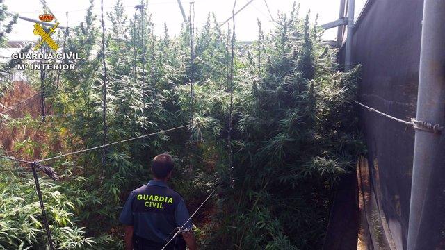 Plantación de marihuana intervenida en 2016 en Fuente Palmera (Córdoba)