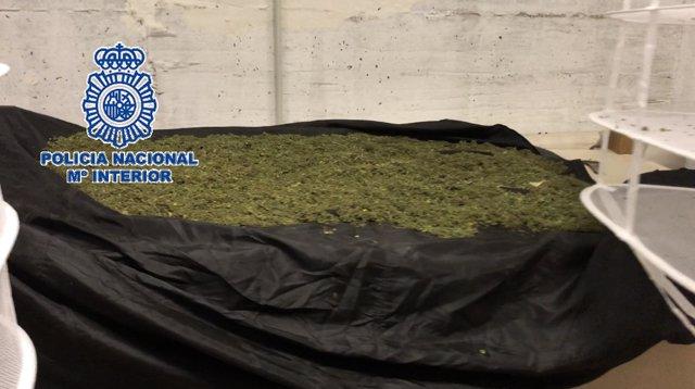 Marihuana intervenida en la barriada de Churriana