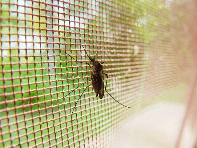 Mosquitos contra la malaria