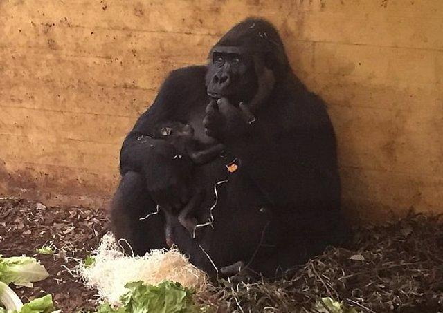 Chelewa con su cría recién nacida