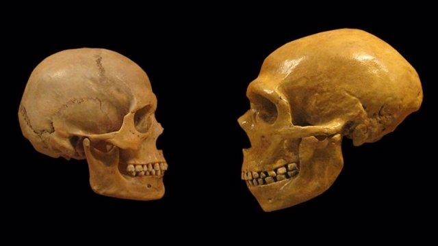 Cabeza de sapiens a la derecha y de neandertal a la izquierda