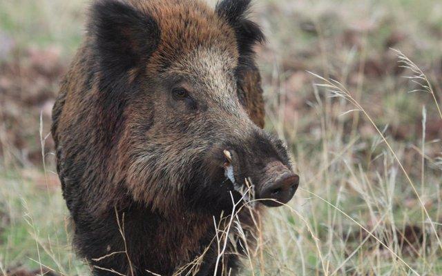 La RFEC exige a la CE que suspenda la importación de jabalíes mientras persisten brotes de fiebre porcina africana