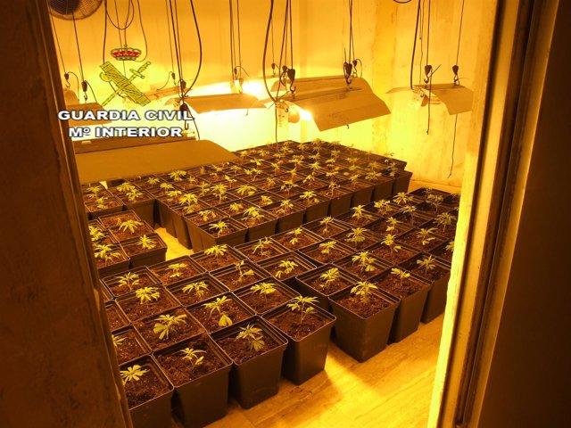 Cultivo de marihuana localizado en Utrera