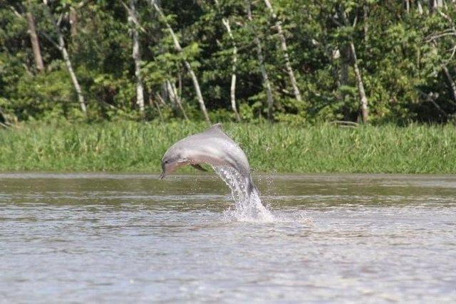 Delfín de Río