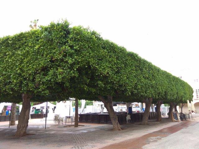 Arbolado de la Plaza Vieja de Almería