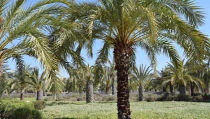 La UMH demuestra la viabilidad de vitrificar residuos de biomasa del palmeral para usar como materiales de construcción