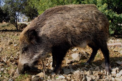 El IREC coordina un mapa europeo de jabalíes para frenar que se propague la peste porcina africana