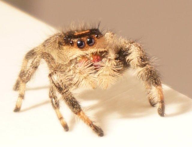 VÍDEO Kim, la araña saltadora entrenada en la Universidad de Manchester