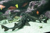 Foto: Los tiburones pueden adquirir el gusto por el jazz