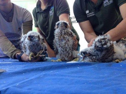 Cerca de 40 parejas de halcón peregrino crían en la comunidad de Madrid, donde está declarada como especie vulnerable