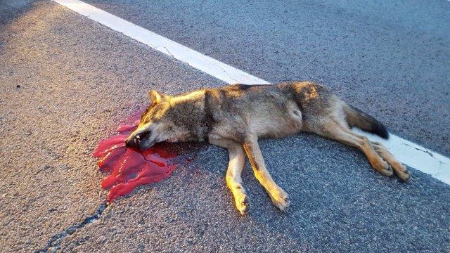 Lobo atropellado en la A1
