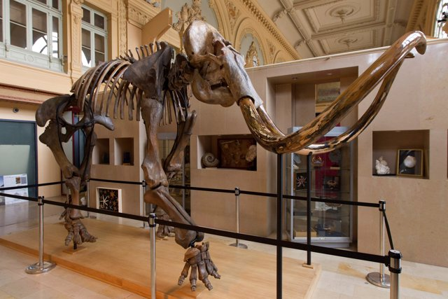 A complete mammoth skeleton is displayed before its auction by Aguttes auction h