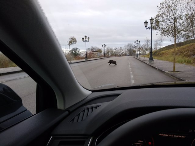 Jabalí en la carretera