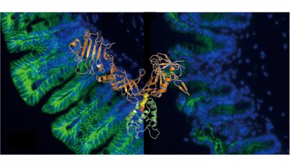 Un estudio aporta una posible vía para combatir la infección gastrointestinal por 'Clostridium difficile'