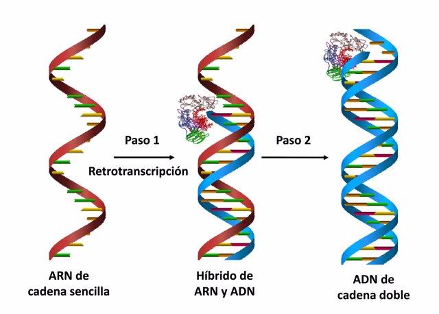 La síntesis de ADN por parte de la retrotranscriptasa del VIH