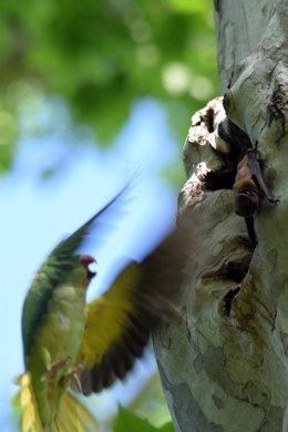 Cotorra acechando a un murciélago