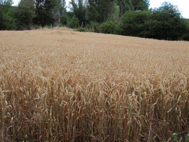 Campo De Cereales, Trigo, Cultivos, Rural