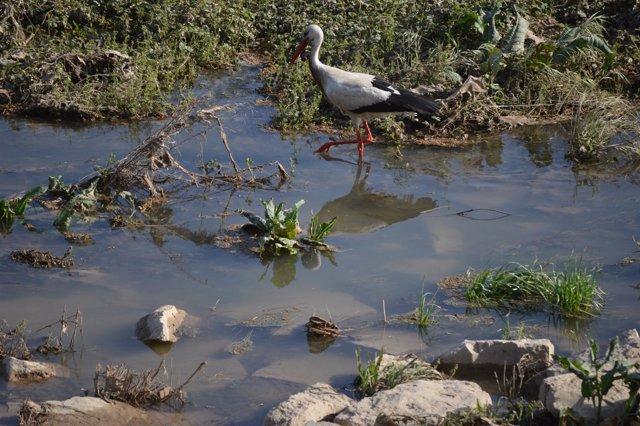 Una cigüeña en el río Segre, en Lleida