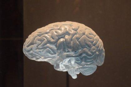 Cuestionan el desarrollo de cerebros más complejos por la evolución humana