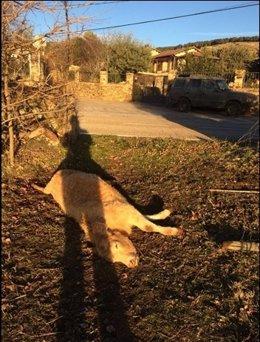 Ataque de lobos en Madrid