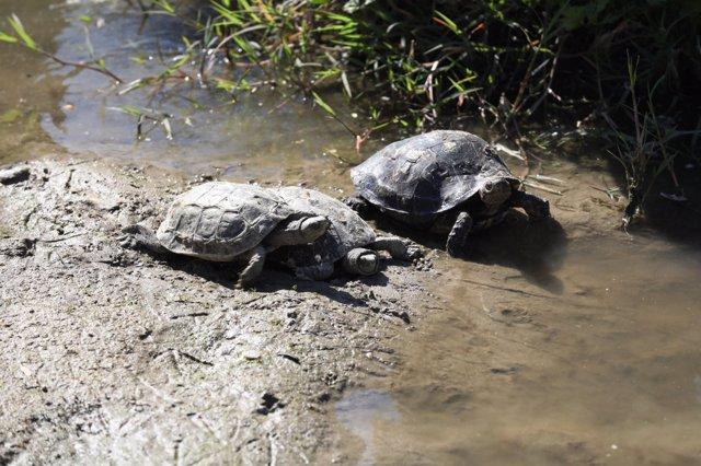 Tortugas leprosas, autóctonas del Manzanares