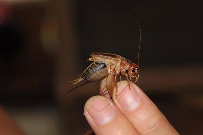 Los genes humanos están preparados para digerir insectos