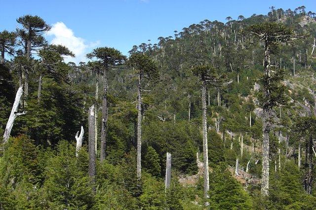 Bosque de araucaria en Chile