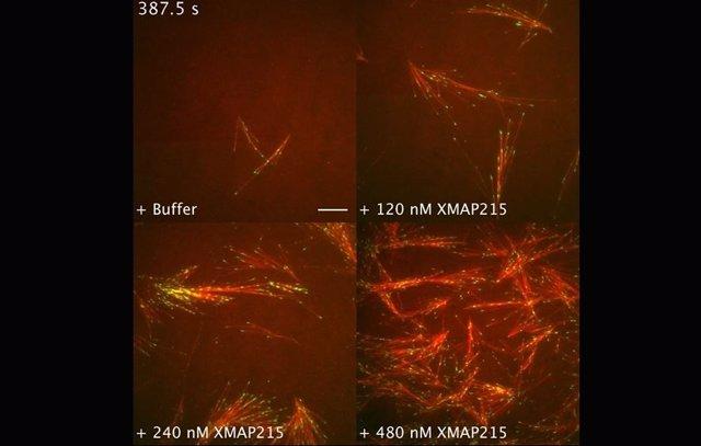Crecimiento de los microtúbulos