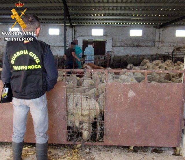 """[Cáceres] """" La Guardia Civil Detiene A Un Ganadero Por Denunciar Falsos Robos Pa"""