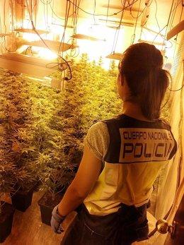 Una agente en el decomiso de las plantas intervenidas en la operación