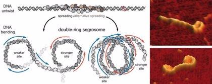 Descubren que un doble anillo para segregar el ADN es el responsable de la producción de la toxina botulínica