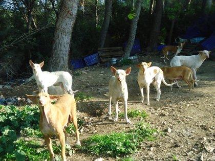 Localizados 22 perros salvajes en el municipio de Sant Josep (Ibiza) en lo que va de año