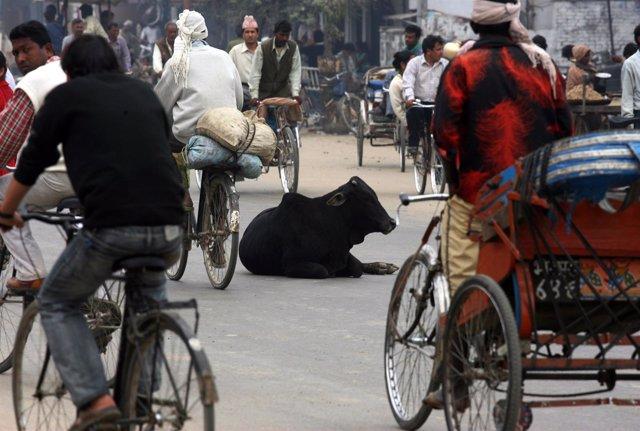 Una vaca, sagrada en India y Nepal