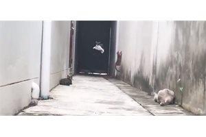 Gato volador: un felino es amenazado por otros y escapa de forma alucinante