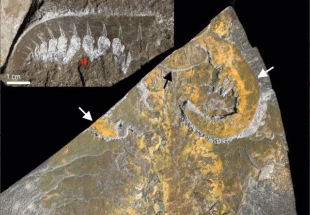 Fósiles bien preservados de de un predador de cuerpo blando del Cámbrico