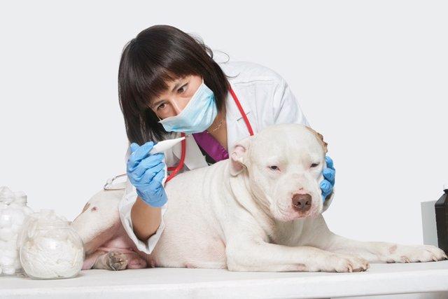 Veterinario, perro enfermo