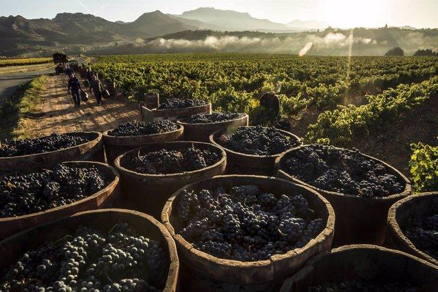 Viñas, viñedo de Rioja, uvas