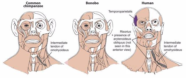 Músculos distintivos de los humanos también evolucionaron en simios