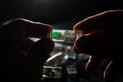 'Bacterias en un chip' para ingerir podrían ayudar a diagnosticar enfermedades