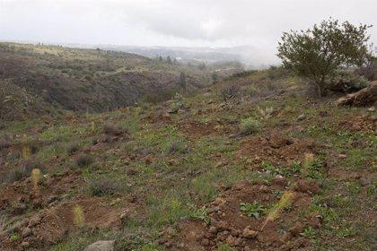 Red Eléctrica y Cabildo de Tenerife reforestan el paraje forestal de Chajaña con más de 7.000 árboles y arbustos