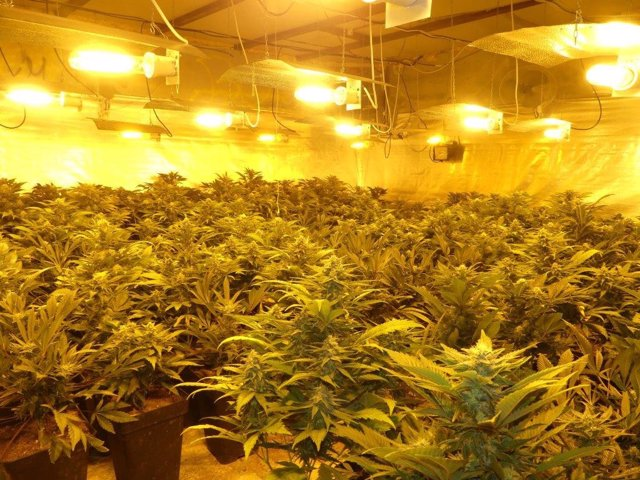 Marihuana CNP