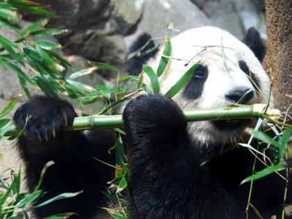 ¿Sabes dónde se encuentran los únicos osos panda del mundo que no son de China?