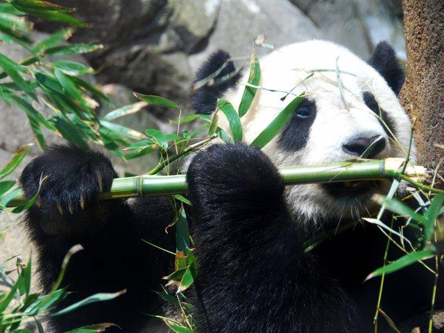 Oso panda méxico