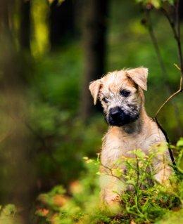 Hallan la causa genética de la ceguera en perros