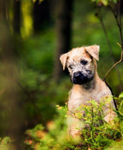 Hallan una causa genética de una enfermedad que provoca ceguera en perros y ayuda a entender la humana