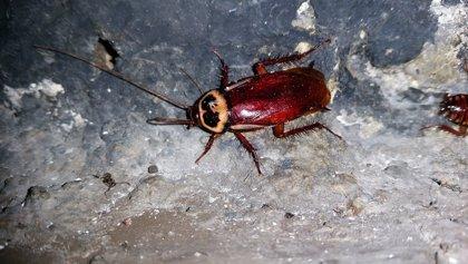 La proliferación de cucarachas será más alta este verano debido a las lluvias de la primavera, según Anecpla