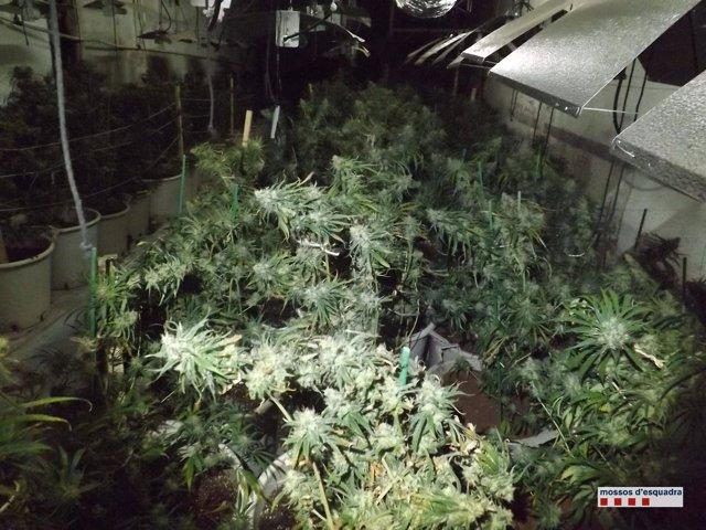 Plantaciones de marihuana encontradas en una finca de Terrassa