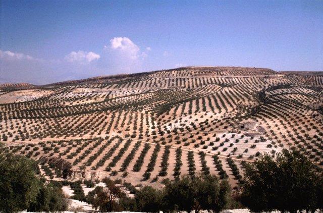 Olivar, olivos