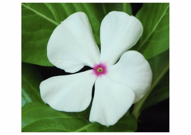 Vincapervinca, planta de Madagascar, flor