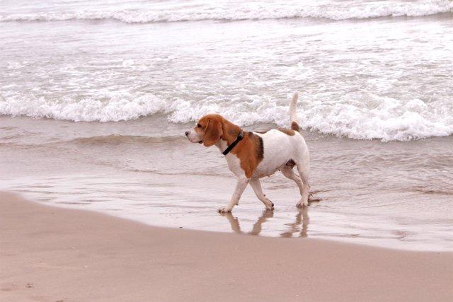 Un perro en la playa de Pinedo de València habilitada para estos animales